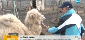 Бебе камила е новото попълнение на зоопарка в Бургас (ВИДЕО)