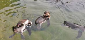 Откраднати пингвини бяха върнати на британски зоопарк