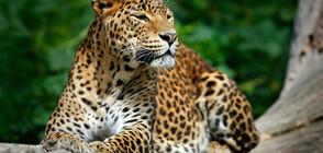 Див леопард нападна политик и телевизионни оператори в Индия