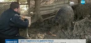 Годината на дивото прасе носи много пари, забавления и любов