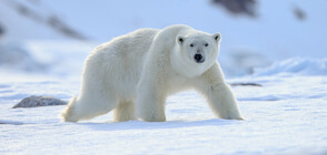 Агресивни бели мечки превзеха селище на северен руски архипелаг (ВИДЕО)