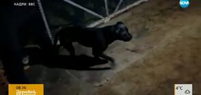 Говори следователят, разкрил мрежата за боеве с кучета в България (ВИДЕО)