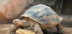 Гигантска костенурка беше открита на Галапагоските острови