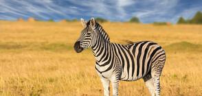 Фотограф засне бебе зебра на точки вместо на райета (СНИМКИ)