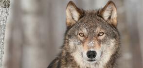 Естонци спасиха вълк от леда, мислейки го за куче (СНИМКИ)