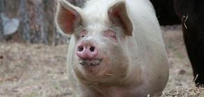 Започна умъртвяването на хилядите свине в Русенско
