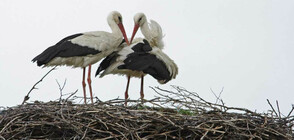 Изграждат 900 платформи за повдигане на щъркелови гнезда (ВИДЕО)