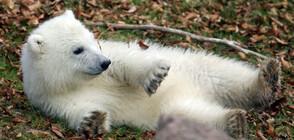 Полярно мече стана сензация в берлинската зоологическа градина (СНИМКИ+ВИДЕО)