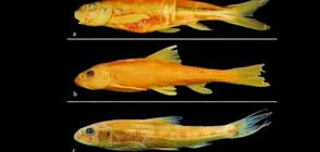 Откриха в Дунав смятана за изчезнала в цял свят риба