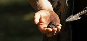 Откриха нов вид черен трюфел у нас и в Гърция