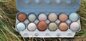 Кокошки край Габрово снасят цветни яйца (ВИДЕО)