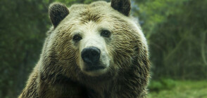 СЛЕД ЗРЕЛИЩНА СХВАТКА: Руснак успя да пребори мечка, отхапа й езика