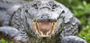 Алигатор отхапа парче от полицейска патрулка (СНИМКА)