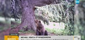 Кой застреля защитен вид мечка в Рила?