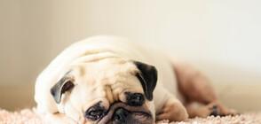 Защо кучетата гледат тъжно?
