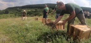 Разселват диви зайци в Североизточна България (ВИДЕО)