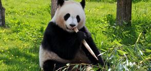 Пандите в зоопарка в Москва слушат гласа на Путин
