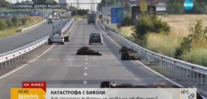 КАТАСТРОФА С БИВОЛИ: Как стадото животни се озова на оживен път?