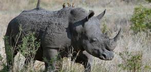 Учени поставиха ембрион, създаден ин витро, на носорог