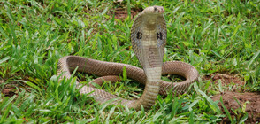 73-годишна жена уби кобра с лопата (ВИДЕО)
