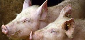 Кой е виновен за разпространението на африканската чума сред свинете?
