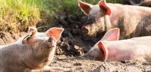 Армията и жандармерията се включват в борбата с африканската чума по свинете