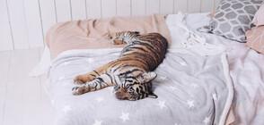 Тигрица заспа в човешко легло (СНИМКА)