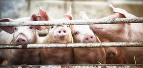 Продължава умъртвяването на хилядите свине в Русенско