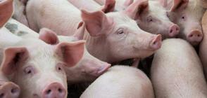 ЧУМАТА - ОТ АФРИКА ДО СВЕТА: Възможно ли е вирусът да се пренася със сандвич?