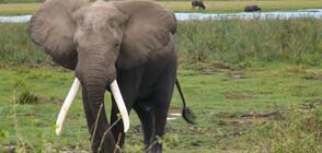 Бивни от близо 300 слона конфискувани в Сингапур