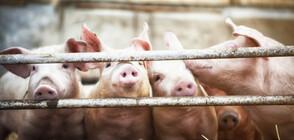 Изплащат еднократна помощ на стопаните на умъртвените прасета от 1 септември