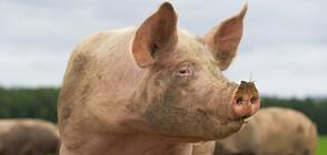 Откриха африканска чума в още един свинекомплекс в Русенско