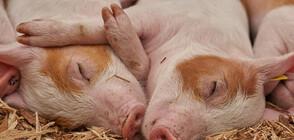 Глобяват собственици на прасета в Сливенско