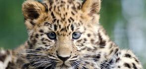 Зоопаркът в Маями публикува снимки на две бебета димни леопарди (СНИМКИ)