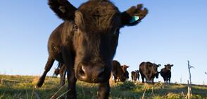 Предупреждение за опасни крави в Алпите