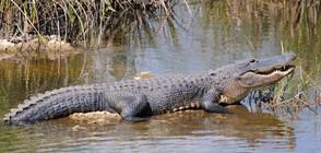 Алигатори се разхождат из улици във Флорида (ВИДЕО+СНИМКИ)