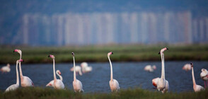 Розово фламинго избра да кацне край езеро до Бургас