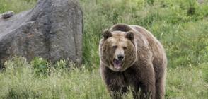 Зачестяват нападенията от мечки в Сибир (ВИДЕО+СНИМКИ)