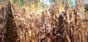Гъбички съсипват бананови плантации в Централна Америка (ВИДЕО)
