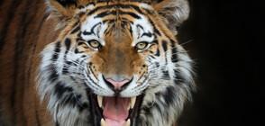 Тигри убиват фермери в Индонезия