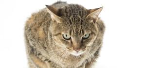Гигантска котка стана звезда в САЩ (СНИМКА)