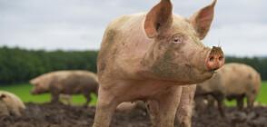 Намаляват ограниченията, наложени заради африканската чума по свинете