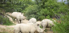 Учени оплодиха яйцеклетки на единствените бели северни носорози