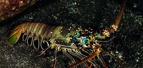 Двуцветен омар озадачава учените (СНИМКИ)