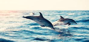 Над 2 хиляди делфина бяха забелязани край южния бряг на Калифорния (ВИДЕО)