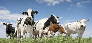 Село се вдигна на бунт срещу 40 крави (ВИДЕО)
