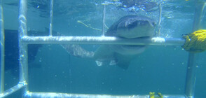 """""""Без багаж"""" се спускат с клетка при акулите край Тюленовия остров"""