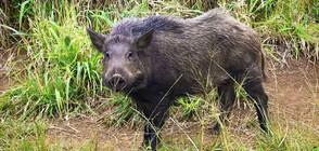 Откриват ловния сезон за диви прасета