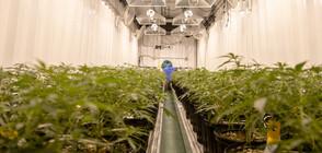 Откриха оранжерия за марихуана зад баня на частен дом в Италия