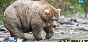 Коя е най-дебелата мечка в Америка?